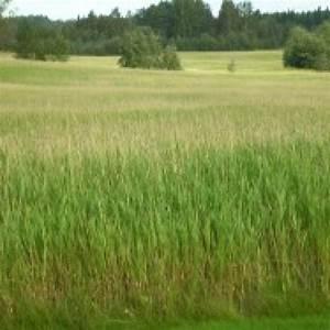 Reed Canary Grass - BioPAD