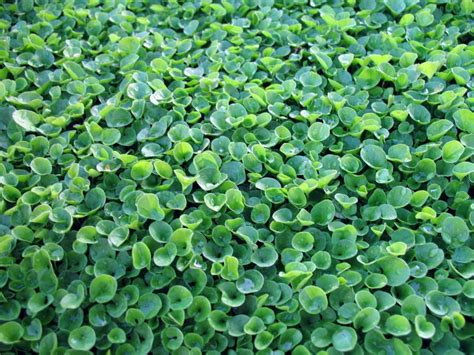 Texas Shade Ground Cover Plants
