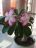 Perennial Plant Multi- Color Adenium Flower Desert Rose ...