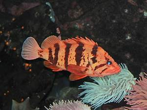 The Online Zoo - Tiger Rockfish