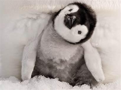 Animals Penguin Even Penguins Emperor Cutest Babies