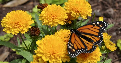 best fall perennial flowers images