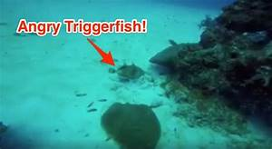Wait Until You See This Wild Triggerfish Attack Caught On ...