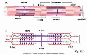 Pse 4u Exercise Science  Sliding Filament Theory And