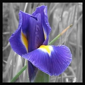 Schwarz Weiß Bilder Mit Farbeffekt Kaufen : farbe und schwarz weiss foto bild pflanzen pilze flechten bl ten kleinpflanzen iris ~ Bigdaddyawards.com Haus und Dekorationen