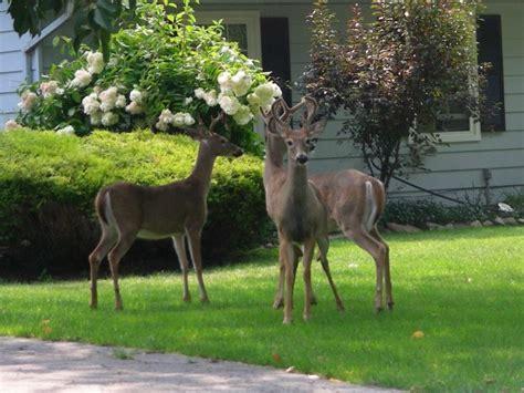 deer  wild