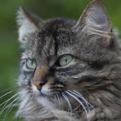 tabby cat tabby cat desktop wallpaper iskin co uk