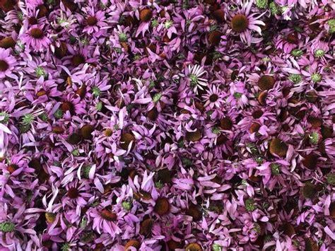 Ehinācija (Echinacea purpurea) - Sveramās tējas - Veikals - Kurmīši