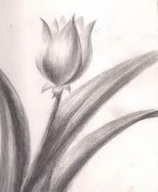 Tulip Flower Drawing Sketch