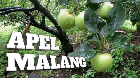 WISATA PETIK APEL MALANG Explore Batu Malang
