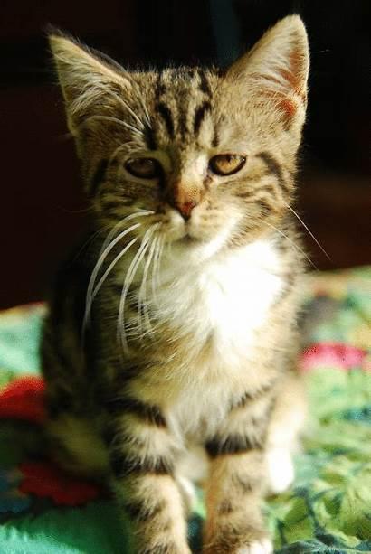 Cat Yawn Kitten Yawning Tired Morning Kitty