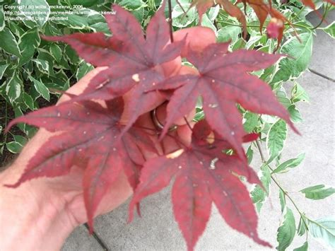 japanese maple leaf spots trees shrubs and conifers japanese maple disease 1 by willis mckenna