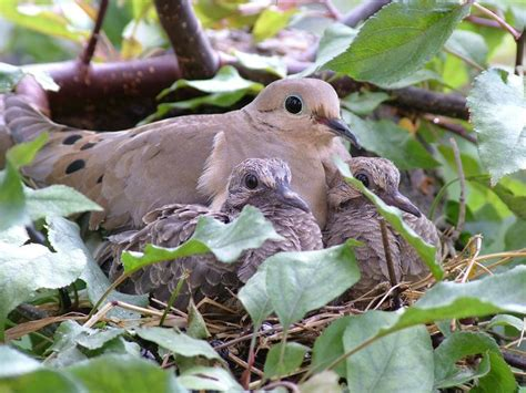 mourning dove my wonderful dove love pinterest
