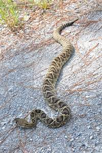 17 Best images about Eastern Diamondback Rattlesnake on ...