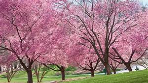 Growing Cherry Blossoms