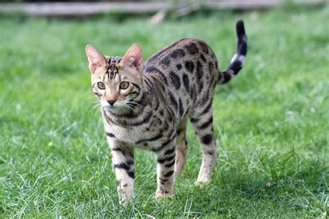 Bengal Cat Travel To Costa Rica Petrelocation