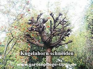 Bäume Schneiden Wann : wann soll man kugel ahorn b ume schneiden ~ Lizthompson.info Haus und Dekorationen