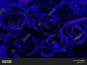Dark Blue Roses Glimpse Color Style Image & Photo | Bigstock