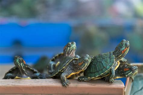red eared slider turtles turtle facts pet turtles