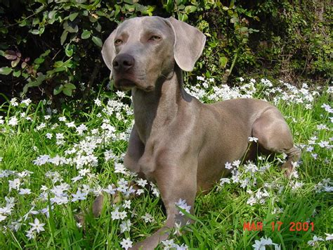 do weimaraner puppies shed weimaraner breed information puppies pictures