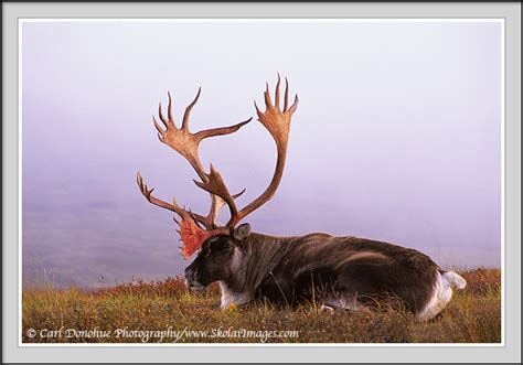 Deer Shedding Velvet Bleeding by Caribou Bull With Blood On Antlers Photo