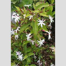 Jasmine Pruning When And How To Prune Jasmine Plants
