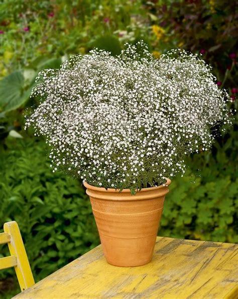 Blumen Für Balkon Winterhart by Winterharte Balkonpflanzen Schleierkraut Gypsophila