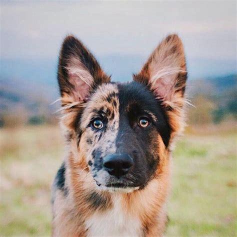 unique german shepherd aww shepherd puppies