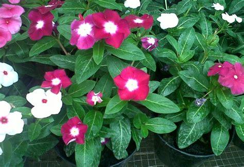menanam  merawat bunga tapak dara  mudah