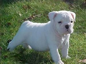 all white english bulldog puppies | Zoe Fans Blog | Cute ...
