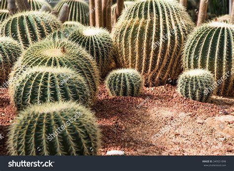 Giant Cactus In Tropical Botanical Garden, Chaingmai ...