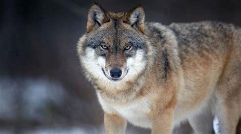 Walliser Wolf Im Visier Der Behörden