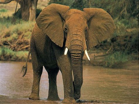 Afrikanischer Elefant, Miami.jpg