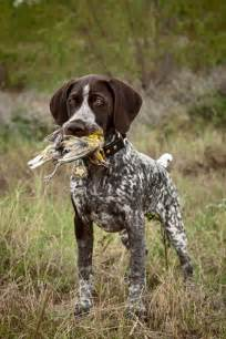 best 25 german shorthaired pointer ideas on pinterest