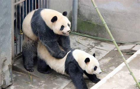 a panda sex god called lu lu just smashed his species lovemaking record metro news
