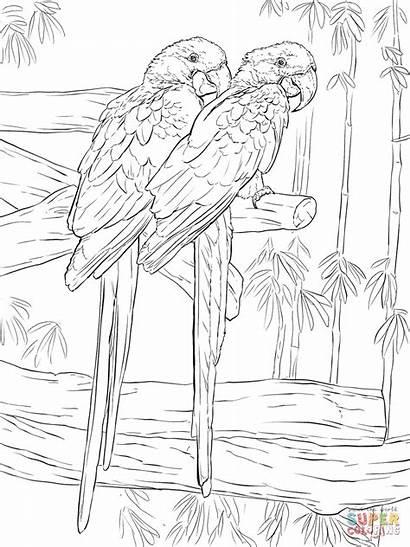 Coloring Hyacinth Ara Printable Macaw Macaws Colorear