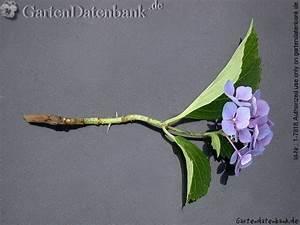 Olivenbaum Stecklinge Kaufen : die 25 besten ideen zu hortensien garten auf pinterest ~ Michelbontemps.com Haus und Dekorationen