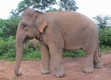 Asian Elephant Facts, Habitat, Diet, Life Cycle, Baby