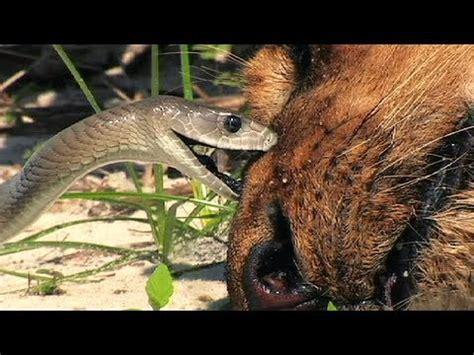 black mamba  dead lion  snake attacks lion youtube