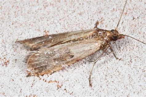 Moths In The Pantry How To Get Rid Of Pantry Moths The Farmer S Almanac