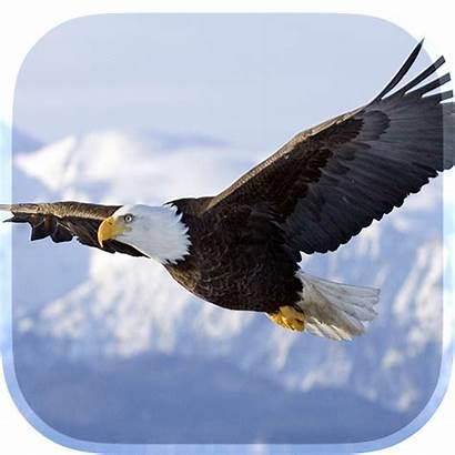 Burung Elang Eagle Google