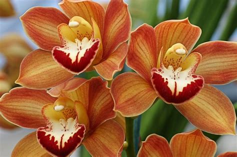 orange cymbidium orchids  bob bretell orchids