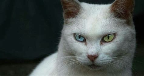 colored eyes different two cats