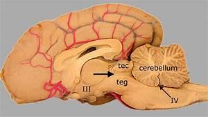 Brain Diagram Labeled Top View
