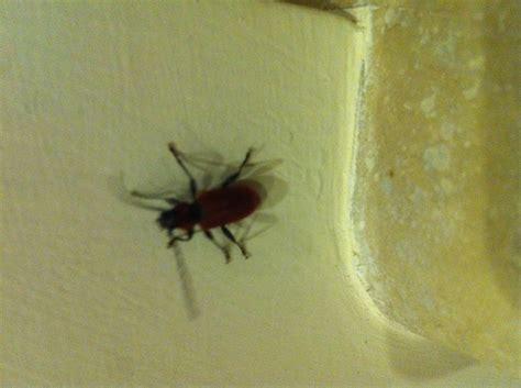 insetti neri volanti insetti volanti in casa pestforum