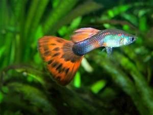 Fische Für Anfänger : aquarienfische f r anf nger mein aquarium kaufen ~ Orissabook.com Haus und Dekorationen