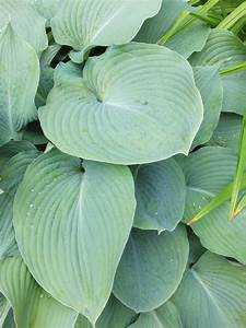 Funkie Big Daddy : funkia 39 big daddy 39 hosta ~ Michelbontemps.com Haus und Dekorationen