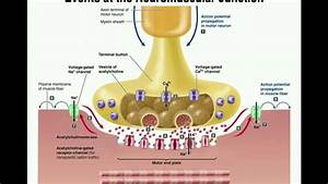 Events At The Neuromuscular Junction  Nmj