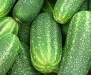 Wie Wachsen Gurken : gurken wachsen wie verr ckt ~ Eleganceandgraceweddings.com Haus und Dekorationen