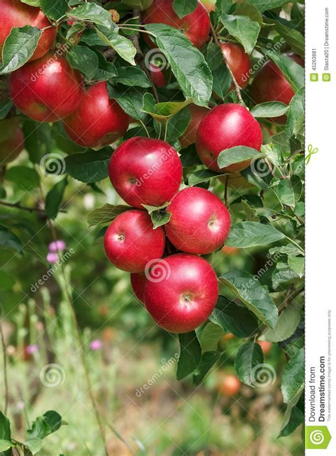 Apples On Branch stock image. Image of diet, apples, fruit ...